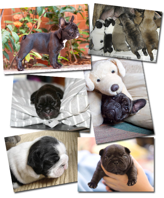Vixbull French Bulldog Puppies - Louisiana