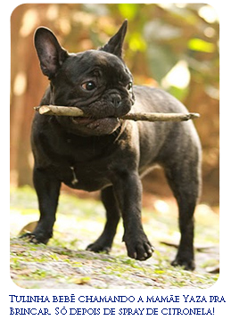 French Bulldog puppy playing with a stick