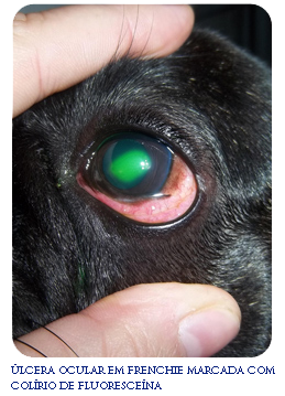 French Bulldog eye ulcer